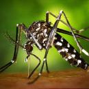 Test sterilisation of male mosquito